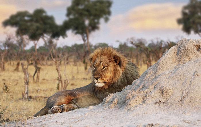 В ЮАР львы загрызли браконьеров, пытавшихся спилить рога носорогов ЮАР, лев, браконьеры, носорог, заповедник, съели, Карма