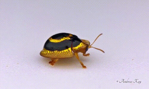 Жук-черепаха. Жуки, Эквадор, Насекомые, Энтомология, Гифка, Видео