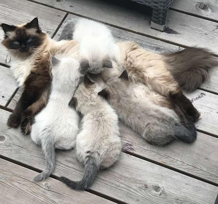 Маленькая пушистая семейка Кот, Пушистый, Счастливая семья, Длиннопост