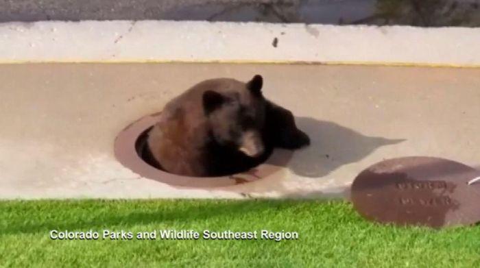 """""""Незваный гость"""" в канализации Канализация, Медведь, Животные, США, Длиннопост"""