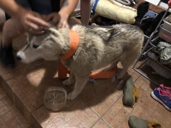 Найдена собака, Казань Казань, Хаски, Собака, Пропала собака, Найдена собака, Длиннопост, Найдено животное, Без рейтинга
