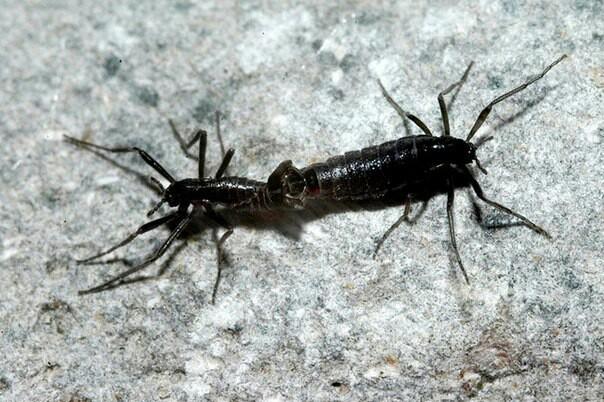 Антарктический комар Комары, Энтомология, Эндемик, Антарктида, Длиннопост