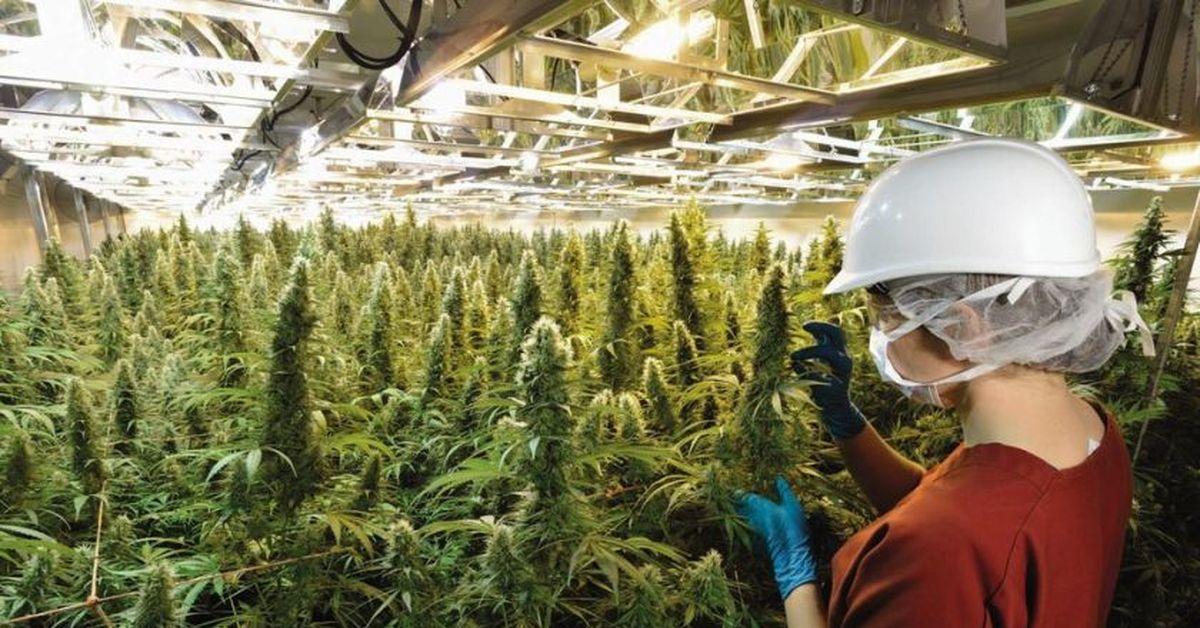 Лицензия на коноплю мужская особь марихуаны