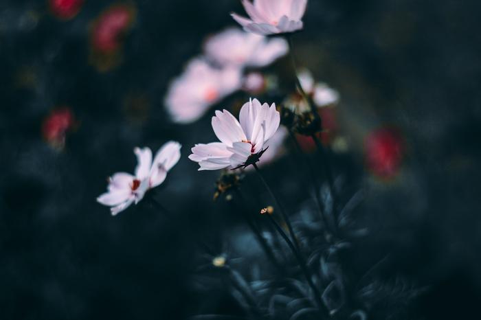 Cosmos bipinnatus Цветы, Фотография, Искусство, Гелиос, Canon, ВКонтакте, Природа, Магия, Длиннопост