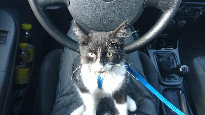 Первая поездка без переноски :) Кот, Поездка на машине