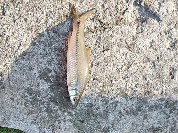 Что за рыба Украина, Кильчень