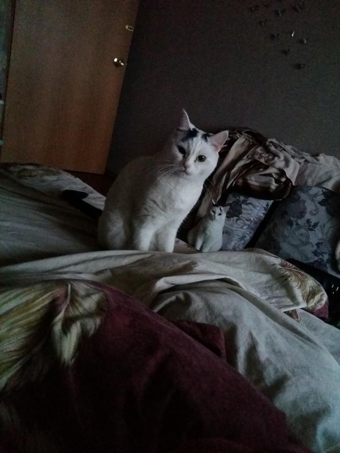 Ctrl+C, Ctrl+V Белые коты, Кот, Домашние животные, Бардак