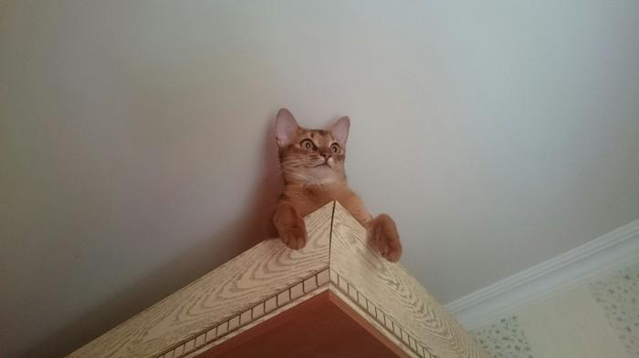 Не поняла... А что так можно было? Абиссинская кошка, Кот, Морда, Длиннопост