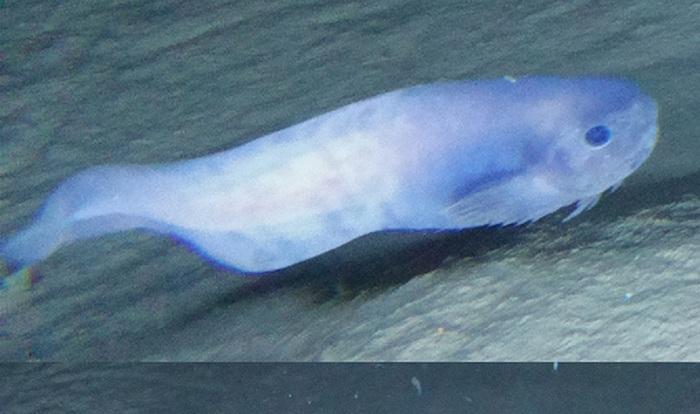 Открыты новые виды глубоководных рыб Океан, Новый вид, Морские слизни, Открытие, Видео