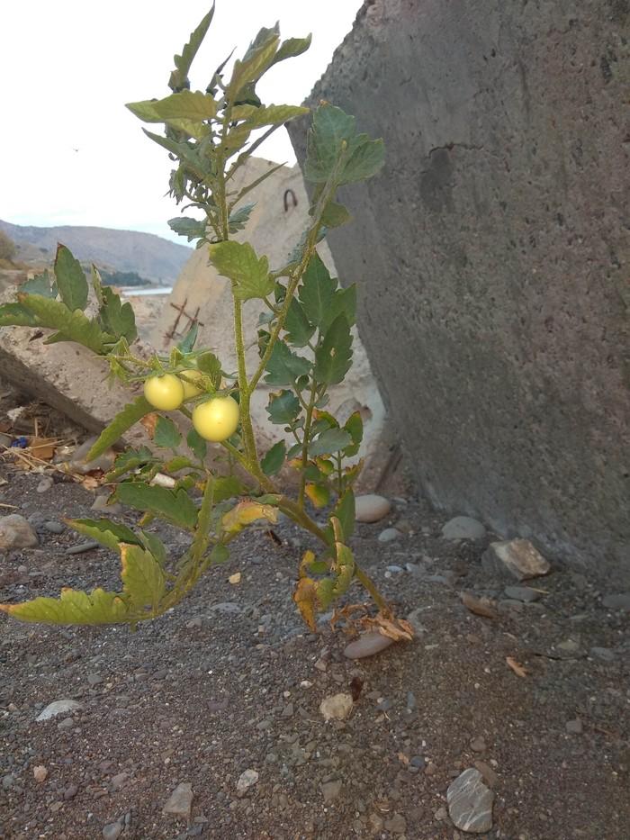 Солнце, море, пляж.. помидорки Помидор, Зеленые помидоры, Чудо рассада, Крым