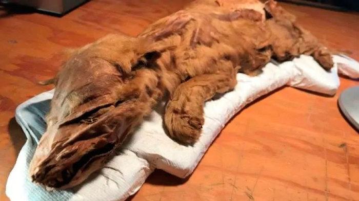 В Канаде в вечной мерзлоте обнаружили мумифицированных волчонка и олененка Палеонтология, Олень, Волк, Наука, Биология, Животные, Плейстоцен, Длиннопост