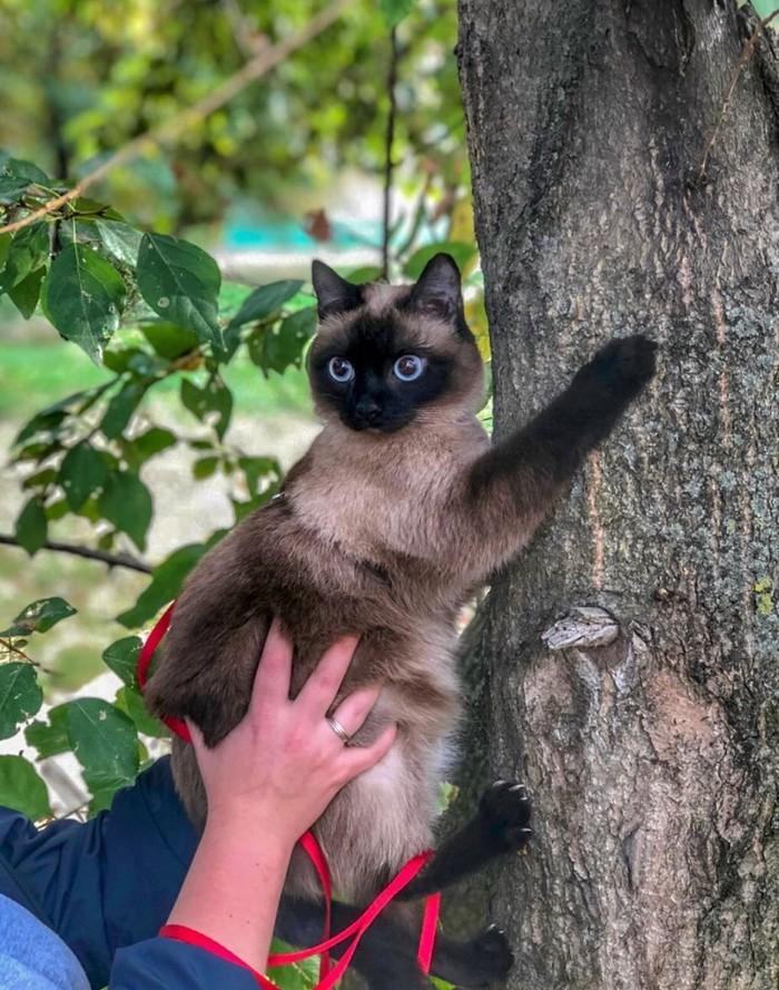 Когда и страшно и интересно) Котомафия, Кот, Тайская кошка, Найденыш, Длиннопост