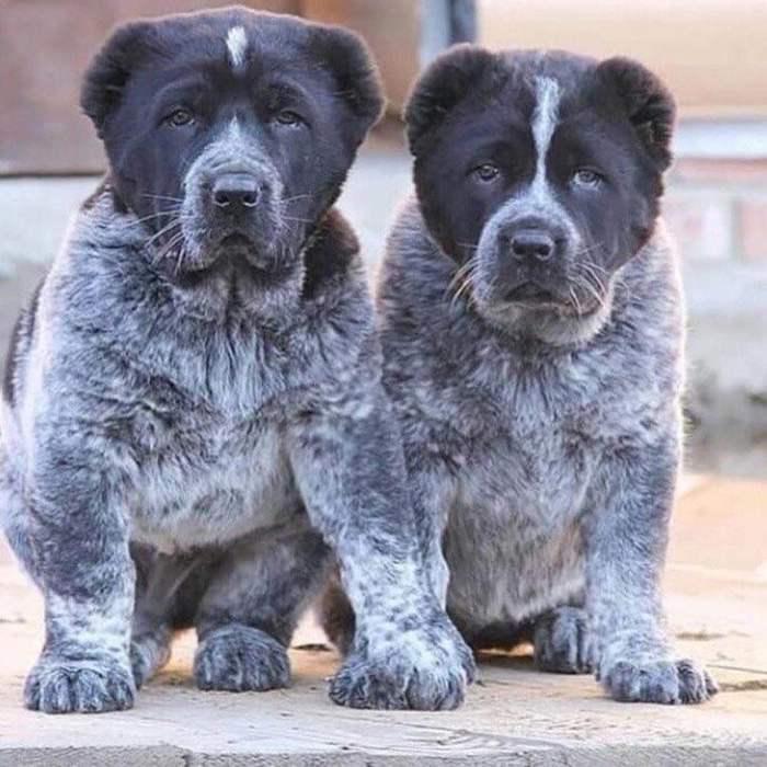 Двое из ларца. Собака, Алабай, Щенки, Мощь, Фотография