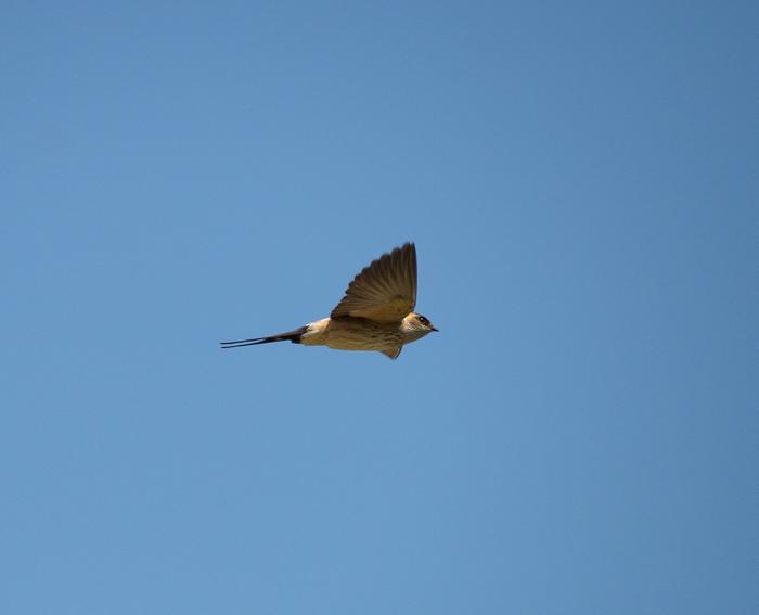 Немного летящих ласточек Ласточка, Полет, Длиннопост