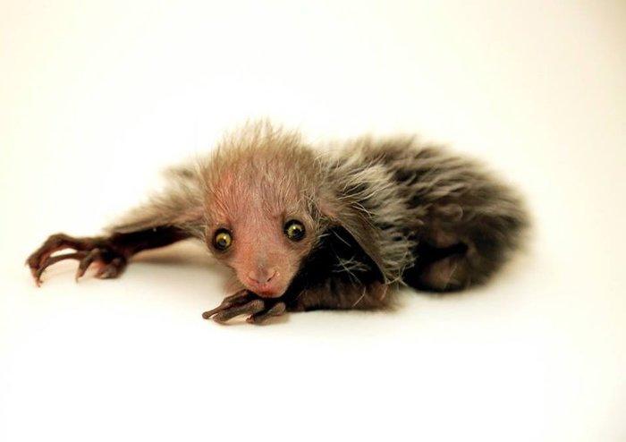 Новорожденный лемур выглядит так, как будто в своей короткой жизни уже успел увидеть некоторое дерьмо Животные, Лемур, Новорожденные, Некоторое дерьмо, Длиннопост