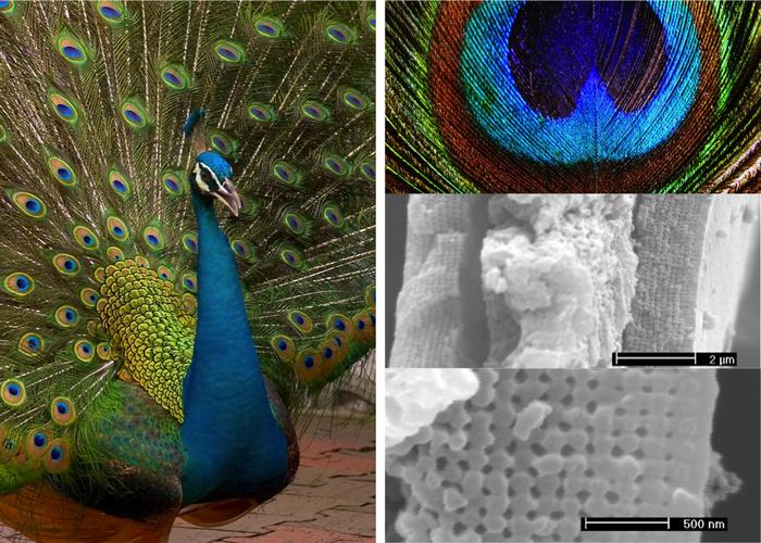 Почему переливаются крылья павлинов? Познавательно, Физика, Объяснение, Павлин, Птицы