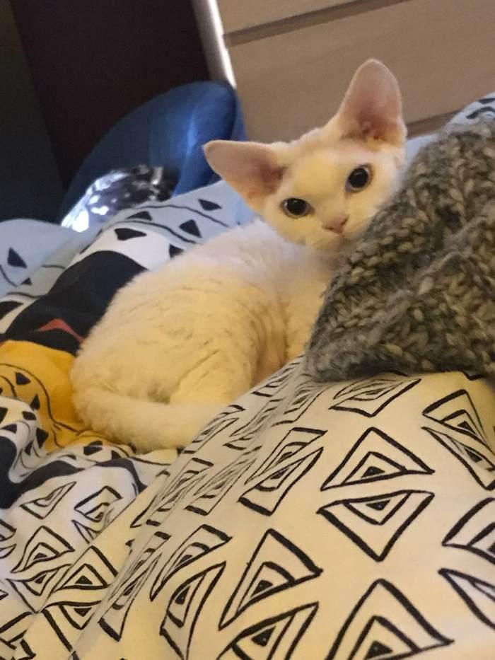 Такая разная кошка Devon Rex, Кот, Длиннопост