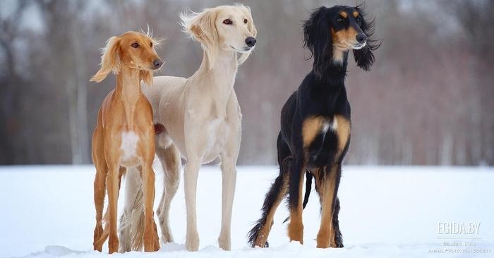 О породах собак №64. Салюки Собака, Породы собак, Салюки, Борзая, Длиннопост