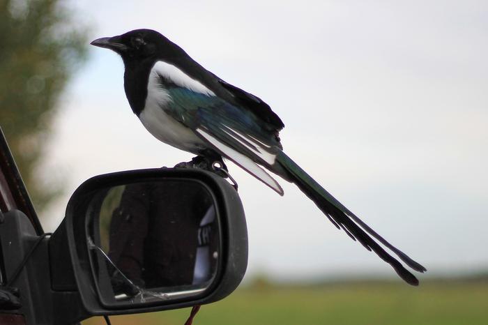 Птица как способ самоубиться или о жизни с сорокой Сорока, Птицы, Длиннопост, Врановые, Питомец