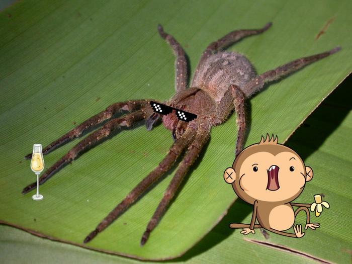 Банановый паук лечит импотенцию, наверное Паук, Членистоногие, Животные, Дикие животные, Природа, Юмор, Книга животных, Длиннопост