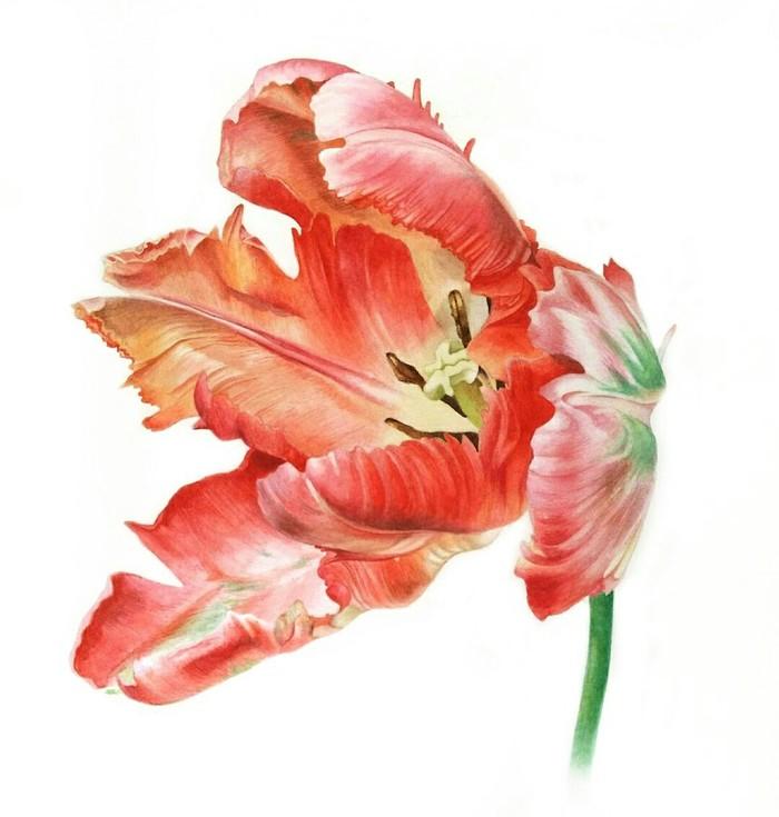 Тюльпан. Акварель Акварель, Ботаническая иллюстрация, Рисунок, Реализм, Тюльпаны
