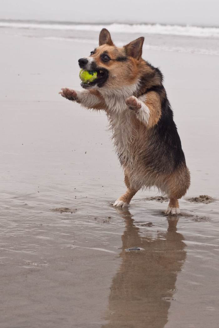Просто корги на пляже... Корги, Пляж, Гифка, Собака