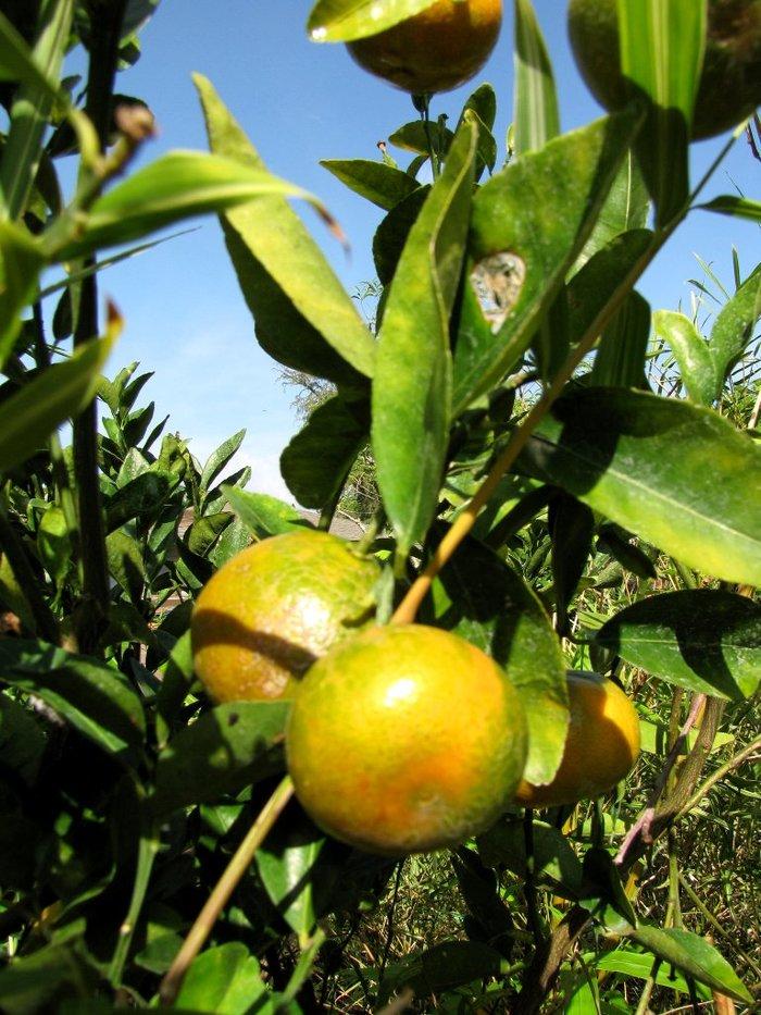 Обещанный мандарин - как вырастить в горшке Мандарины, Комнатные растения, Домашние цветы, Длиннопост