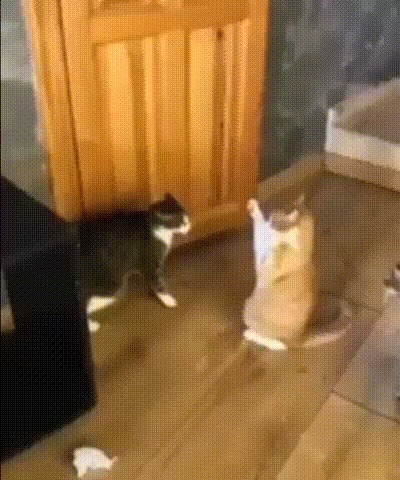 Шаолиньский кот