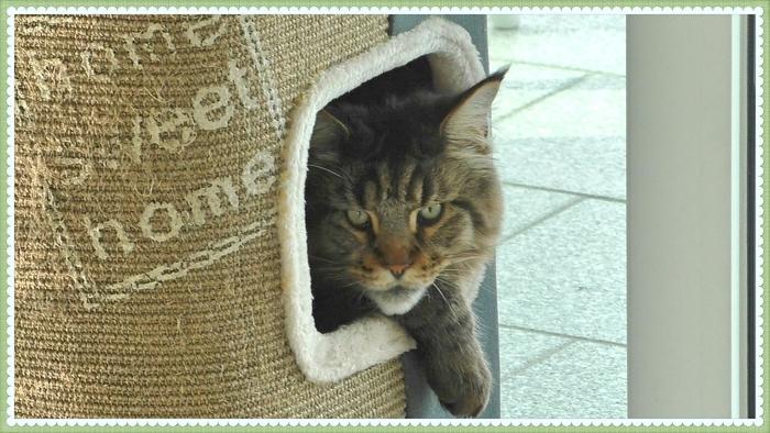 Котик Вилли в обидках Кот, Мейн-Кун