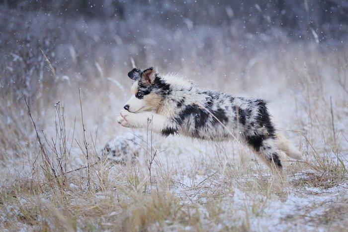В пролете))) Собака, Прыжок, Аусси, Щенки