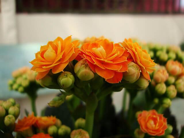 Такой разный каланхоэ Комнатные растения, Домашние цветы, Каланхоэ, Длиннопост