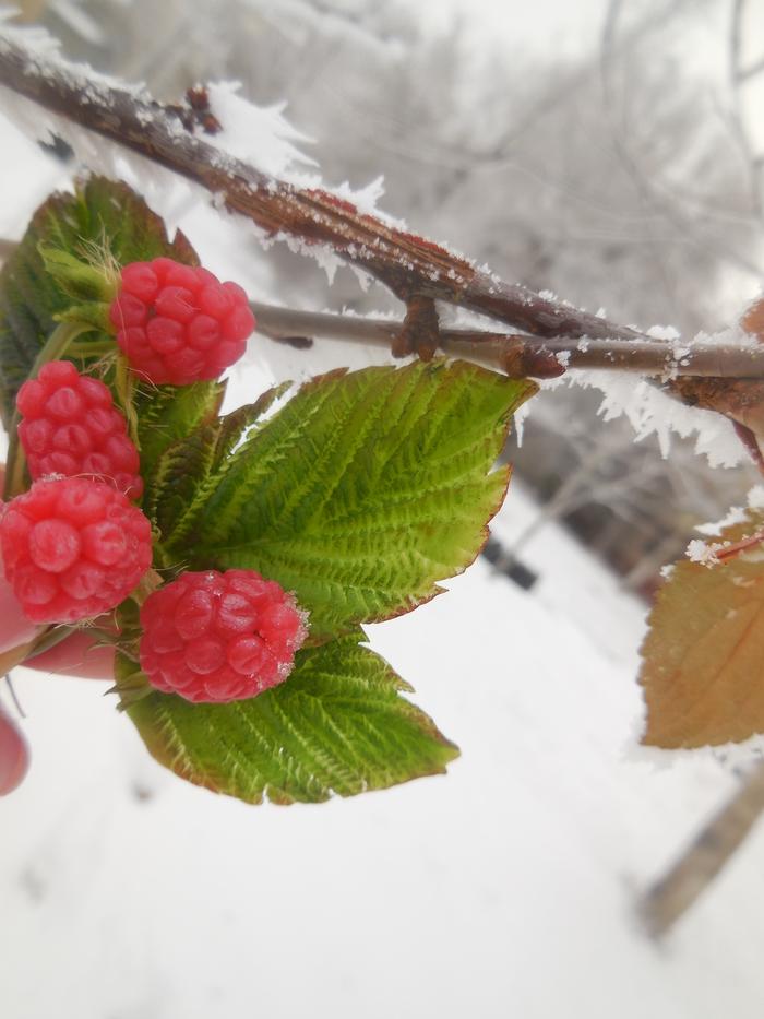 """Ягодки малины - зимой, моя работа из """"холодного фарфора""""... Малина, Холодный фарфор, Рукоделие без процесса, Ягоды зимой, Длиннопост"""