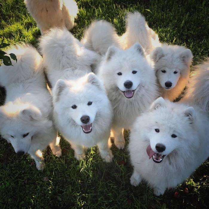 Милейшие породы собак. Самоедская собака. (ч.1) Милота, Собака, Самоед, Пушистое мимими, Домашние животные, Длиннопост