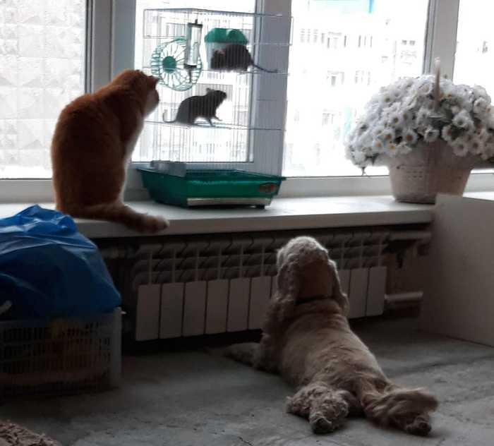 В ожидании ужина Собака, Кот, Дегу, Кокер-Спаниель