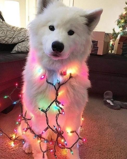 А вы что наряжаете к празднику? Собака, Наряд, Новый год, Друг, Милота, Домашние животные, Самоед, Гирлянда
