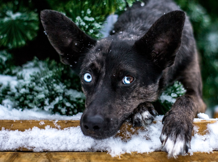 Немного зимне-новогодней атмосферы от моей собаки Собака, Гетерохромия, Голубые глаза, Необычное, Новый Год, Начинающий фотограф, Голубоглазик, Красивое, Длиннопост
