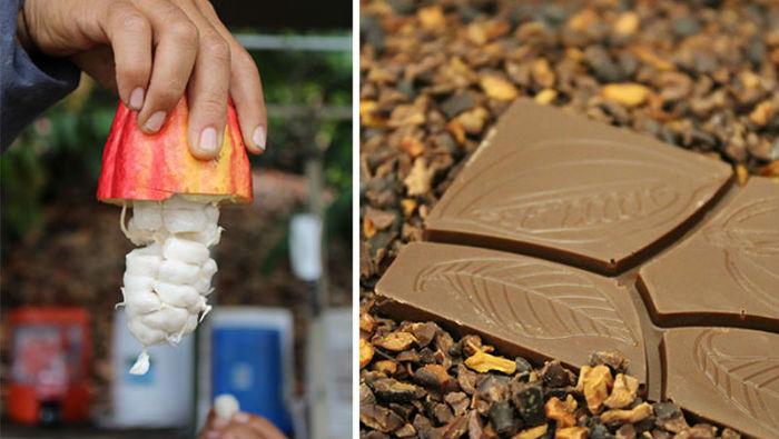 Как выращивают и делают шоколад Шоколад, Как это сделано, Длиннопост, Гифка