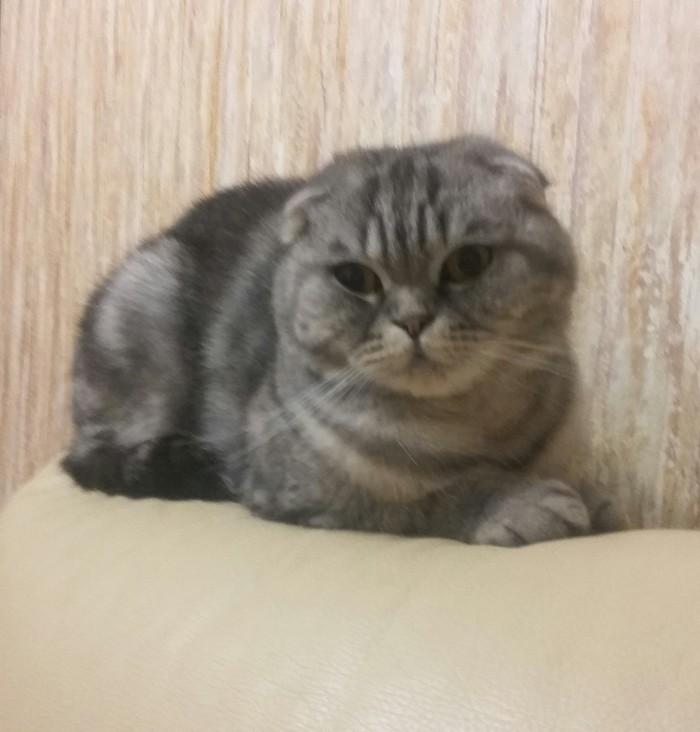 О кошках, котятах и ответственности Шотландская вислоухая, Котомафия, Котята, Ответственность, Длиннопост, Кот