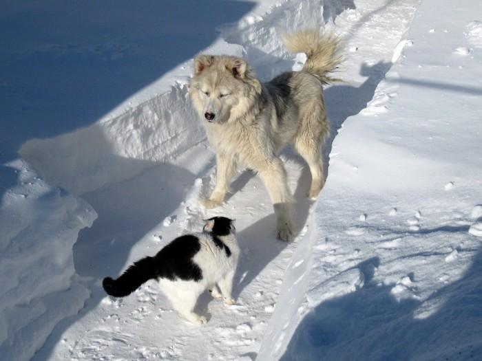 Котик Пушок Кот, Охотник, Боец, Питомец, Животные, Котомафия, Длиннопост, Собака