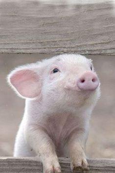 Новогоднее Новый Год, Свинья