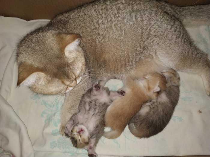 Кот Бегемот принес маленький плод. Британский кот, Новый Год, Котята, Кот