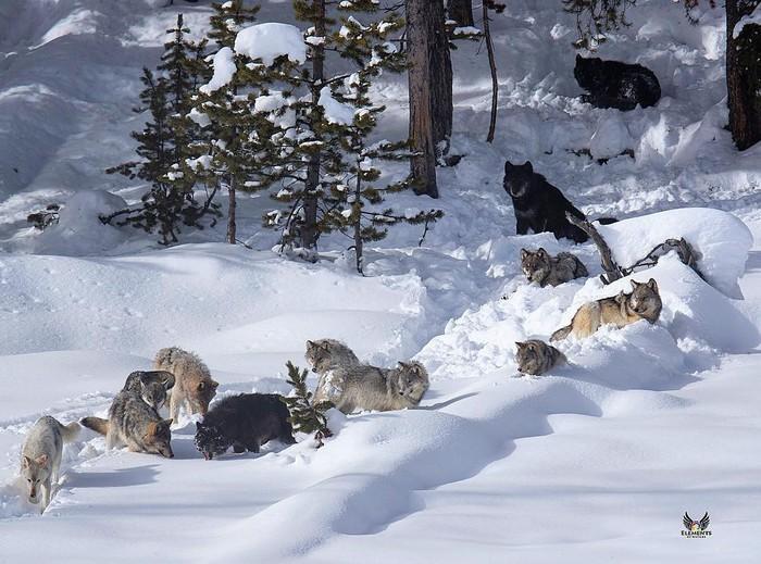 Двенадцать Фотография, Животные, Волк, Стая, Лес