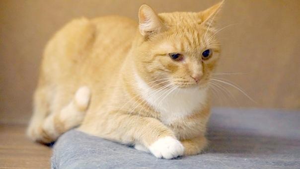 Рыже-белая кошка в добрые руки Санкт-Петербург, В добрые руки, Приют, Кот, Бездомные животные, Без рейтинга, Длиннопост
