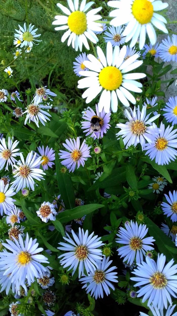 Городские цветы #1: Ромашки для Наташки. Пятничный тег моё, Фотография, Ромашки, Городская природа, Цветы, Длиннопост