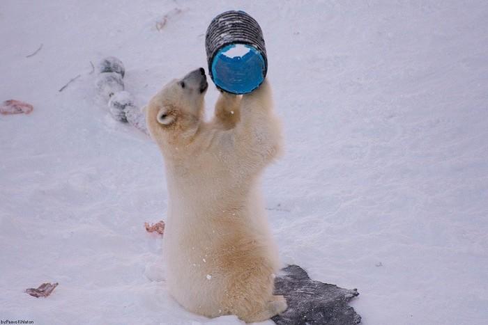 Мишка играет Фотография, Животные, Медведь, Белый медведь, Милота, Длиннопост