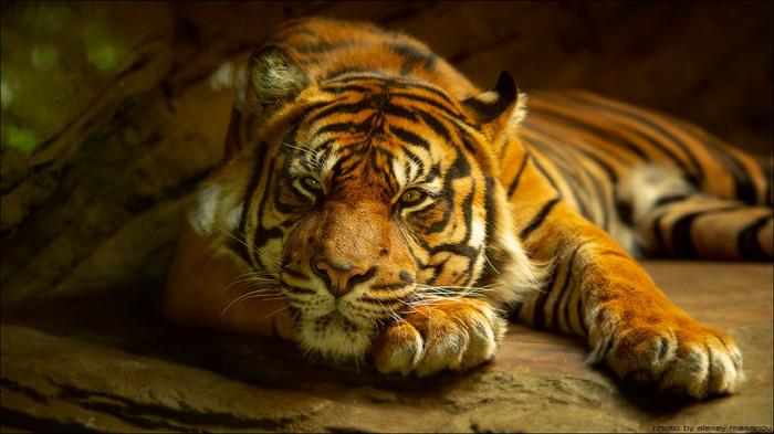 В раздумьях. Тигр, Брно, Животные, Фотография, The National Geographic