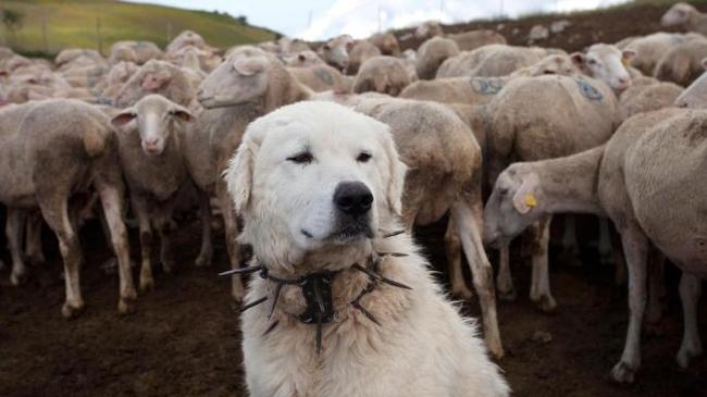 Ошейник против волков Ошейник, Собака, Длиннопост, Шипы
