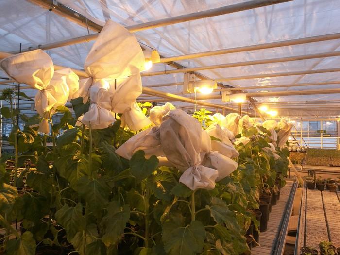 Теплицы, подсолнечник, зимняя гибридизация Сельское хозяйство, Селекция, Подсолнух, Прогрессивное растениеводство, Теплица, Длиннопост