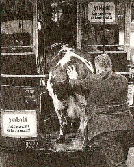 Будни общественного транспорта Фотография, Животные, Корова, Общественный транспорт