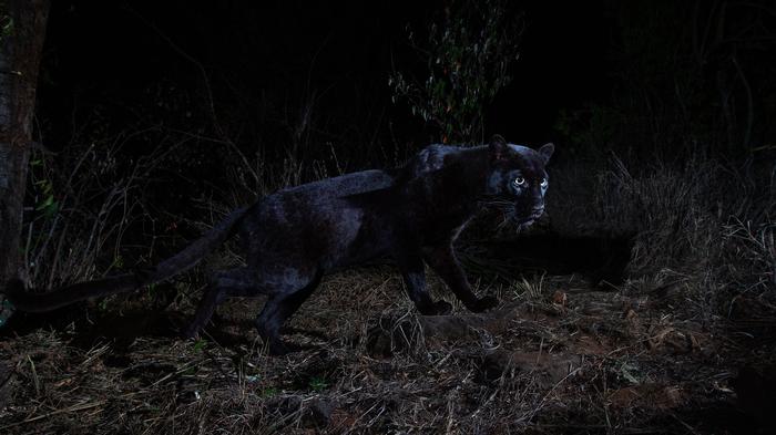 В Африке впервые за 100 лет заметили редкого чёрноголеопарда. Леопард, Необычное